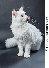 White angora cat 01 - White angora cat on grey background