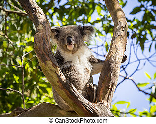 Close up of Koala bear in tree - Australian Koala bear...