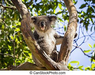 cierre, Arriba, Koala, oso, árbol