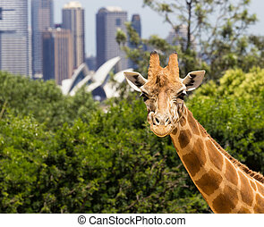 Giraffes with a fabulous view of Sydney - Giraffes in...