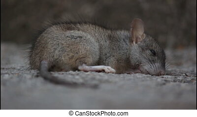 Almost dead rat, poisoned, dark