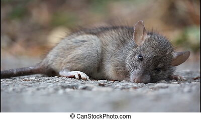 Rat, poisoned - Almost dead rat, poisoned