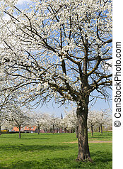 Pear orchard in Flanders - View on a pear tree orchard in...