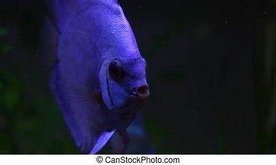 Discus fish in beautiful aquarium - Discus fish swimming in...