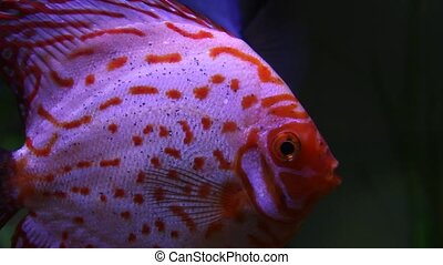 Discus fish in beautiful aquarium - Discus fish swimming in...