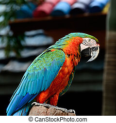 Harlequin Macaw - Colorful Harlequin Macaw aviary