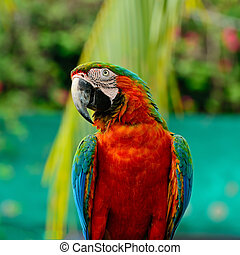 Harlequin Macaw - Colorful Harlequin Macaw aviary, breast...
