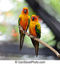 Sun Conure - Beautiful colorful parrot, Sun Conure (Aratinga...