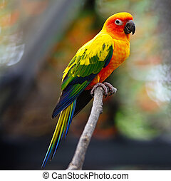 Sun Conure - Beautiful colorful parrot, Sun Conure Aratinga...