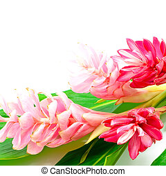 Ginger flower - Colorful flower, Pink and Red Ginger or...