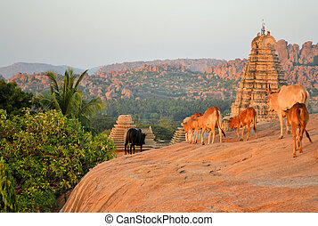 Sacred cows in front of Hindu temple