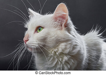 White angora cat 03 - White angora cat on grey background