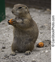 Prairie dog eating carrots - Black-tailed prairie dogs are...