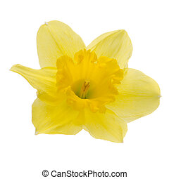 Jonquil flower - Yellow jonquil flower isolated on white...