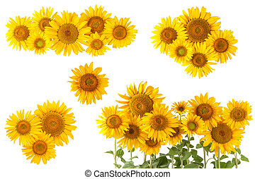 Sunflower bushes and flowers isolated on white background