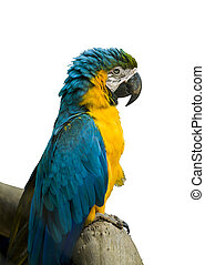 Blue and Yellow Macaw in a white background
