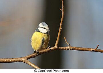 Blue tit (Parus caeruleus) on a branch in the forest.