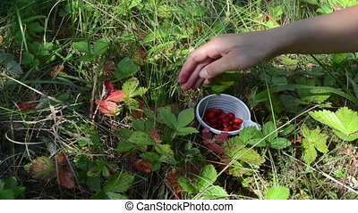 hands wild berry cup pick - woman girl hands gather pick...