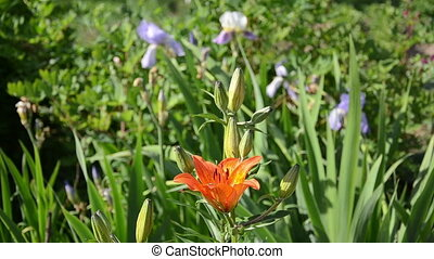 orange lily flower bloom