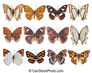 twelve brush-footed butterfly - very many nymphalid...