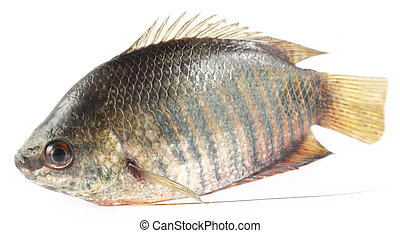 Banded gourami of Southern Asia