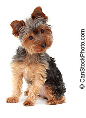 yorkshire terrier - cute yorkshire terrier dog, white...