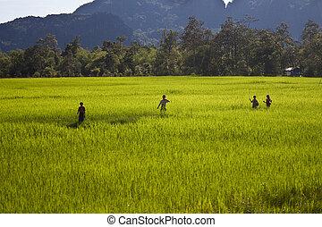 Campesinos, arrozal, campo, laos
