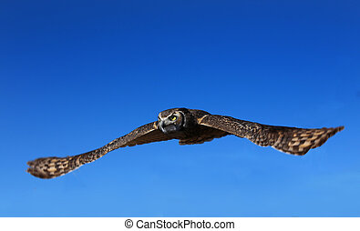 Great Horned Owl with wings spread