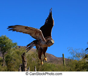 Ferruginous Hawk in the southwest desert