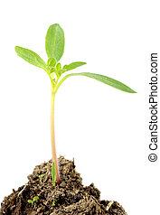 Tomato seedling - A little tomato seedling over white...