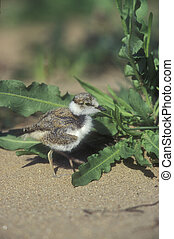 Little-ringed plover, Charadrius dubius, single young bird,...