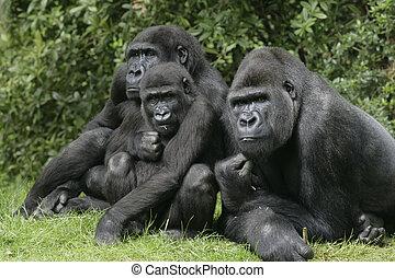Western lowland gorilla, Gorilla gorilla, group mammals on...