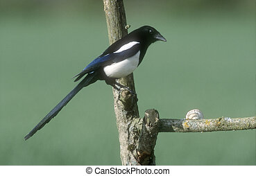 Magpie, Pica pica, single bird on branch, Wales