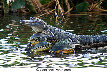 Turtle Collector - Alligator in the Florida Everglades