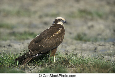 Marsh harrier, Circus aeruginosus, single bird on ground,...