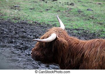 ox on the farm