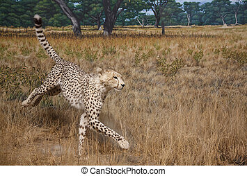 Cheetah in Grasslands - A cheetah in the savannah grasslands
