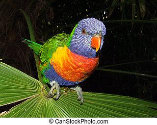 Lovebird (genus Agapornis)