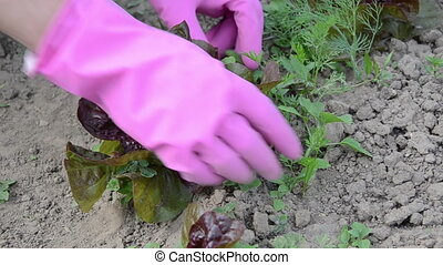 hand grub weeds salad - Farmer woman girl hands in rubber...