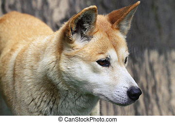 Dingo Closeup - The dingo or Canis Lupus is a free-ranging...