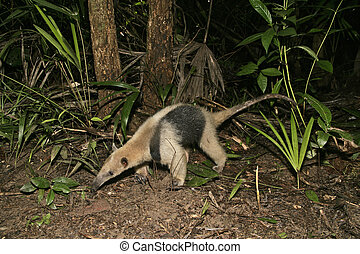 Northern tamandua, Tamandua mexicana, single mammal in...