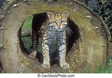 Ocelot, Leopardus pardalis, single cat In Belize
