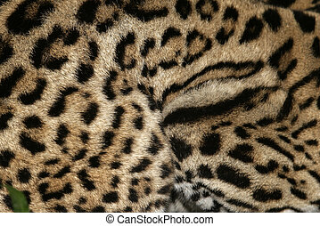 Ocelot, Leopardus pardalis, single cat In Belize