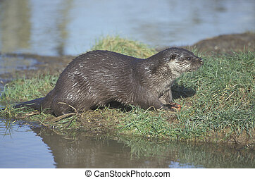 Otter, Lutra lutra, single mammal by water...