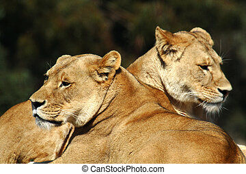 Two Lions - Two female lions resting under the sun