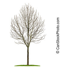 isolated deciduous tree in the winter