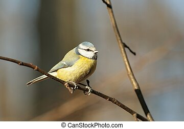 Blue tit Parus caeruleus on a branch in the forest
