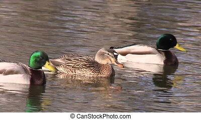 Mallards on Pond - a mallard drake and hen swimming on a...