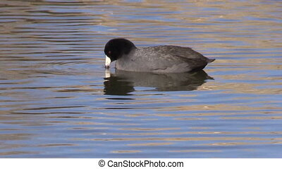 Coot on Pond - a coot swims on a pond