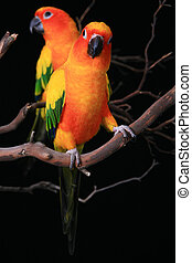 Sun Conure Parrots With One Looking at The Viewer - Two...
